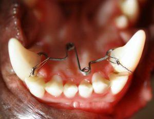 Zahnwechsel - Tierklinik Tulln
