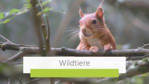 Das Bild mit dem Eichhörnchen führt Sie weiter zu wichtigen Informationen rund um das Thema Wildtiere